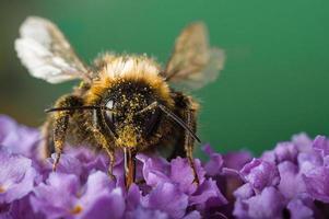 pollen täckt bi