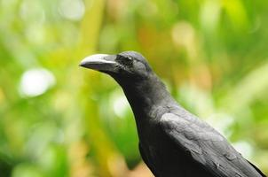 svart fågel (storfakturerad kråka) foto