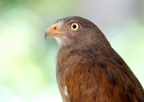 rufous-winged buzzard butastur liventer foto
