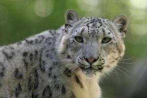 snöleopard porträtt foto