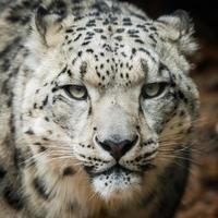 snöleopard viii foto