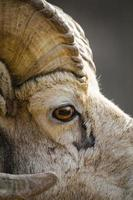 steniga fjällbighorns får (ovis canadensis) foto