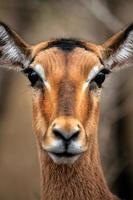 manlig impalas ansikte foto
