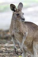porträtt av en röd känguru i Australien foto