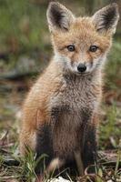 ung röd räv, vulpes vulpes foto