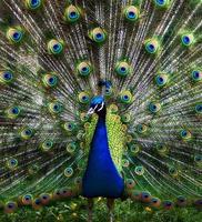 påfågeln foto