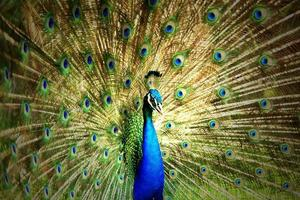 porträtt av vacker påfågel foto