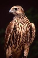 merlin falcon (falco columbarius foto