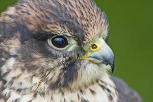lanner falcon foto