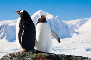 två pingviner som drömmer foto