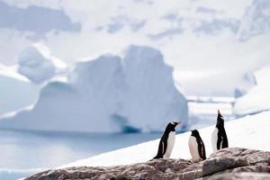 tre pingviner foto