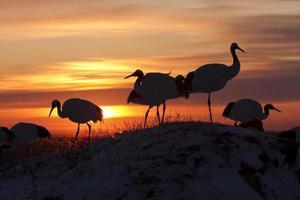 solnedgång och rödkrönad kran foto