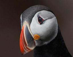 porträtt av lunnefågel foto