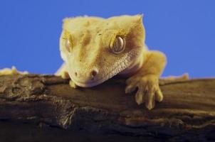 krönad gecko foto