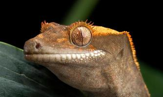krönad gekko-stil foto