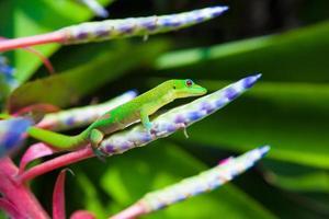 färgglada gekko foto