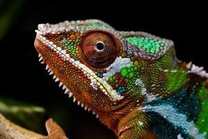 panter kameleon / furcifer pardalis foto