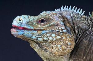 blå rock iguana / cyclura lewesi foto