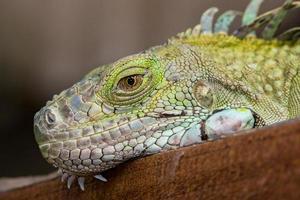 grön leguan reptil foto