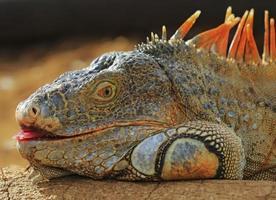 iguana verde rör sig i naturlig livsmiljö foto