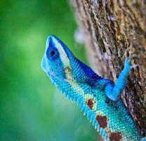 blå leguan på trädgren foto