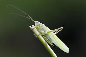 stor grön busk-cricket närbild