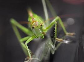 grön gräshoppa