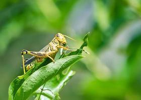 gräshoppa som äter och förstör blad foto