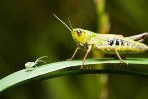 gräshoppa och spindel