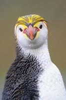 kunglig pingvin (eudyptes schlegeli) foto