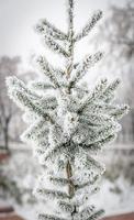 frostat träd foto