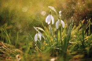 vårens snödroppar foto