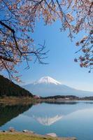 vacker mt. fuji och körsbärsblomning från en tanukiko sjö (körsbärsblomning) foto
