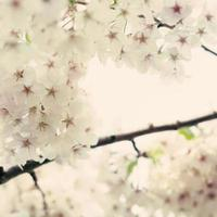 vita körsbärsblommor foto