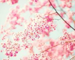 rosa körsbärsblommor foto