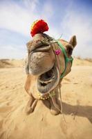 skrattande kamel foto