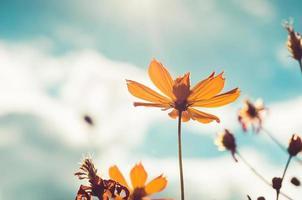 gul kosmos blommatappning foto