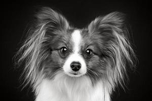 porträtt av en papillon hund foto