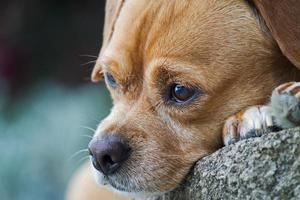drömmande hund foto