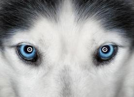 husky blå ögon foto