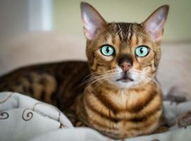 Bengalkatt foto