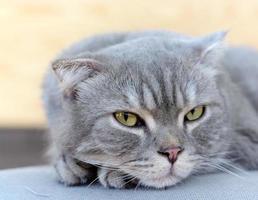 skotsk veck katt foto
