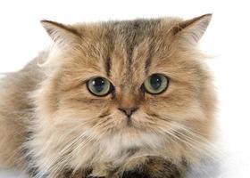 persisk katt