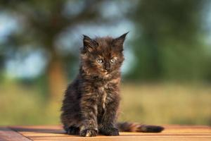 bedårande maine coon kattunge utomhus foto