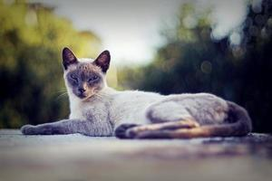 närbild av en ren siamese katt tittar på isolerad kamera foto