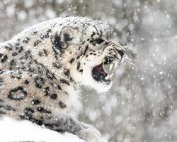 snöleopard i snöstorm ii foto