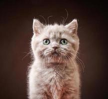 porträtt av brittisk kattunge foto
