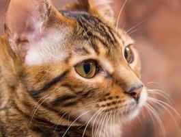 porträtt av brun makrill tabby katt foto
