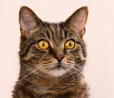 tabby katt porträtt foto