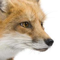 röd räv (4 år) foto